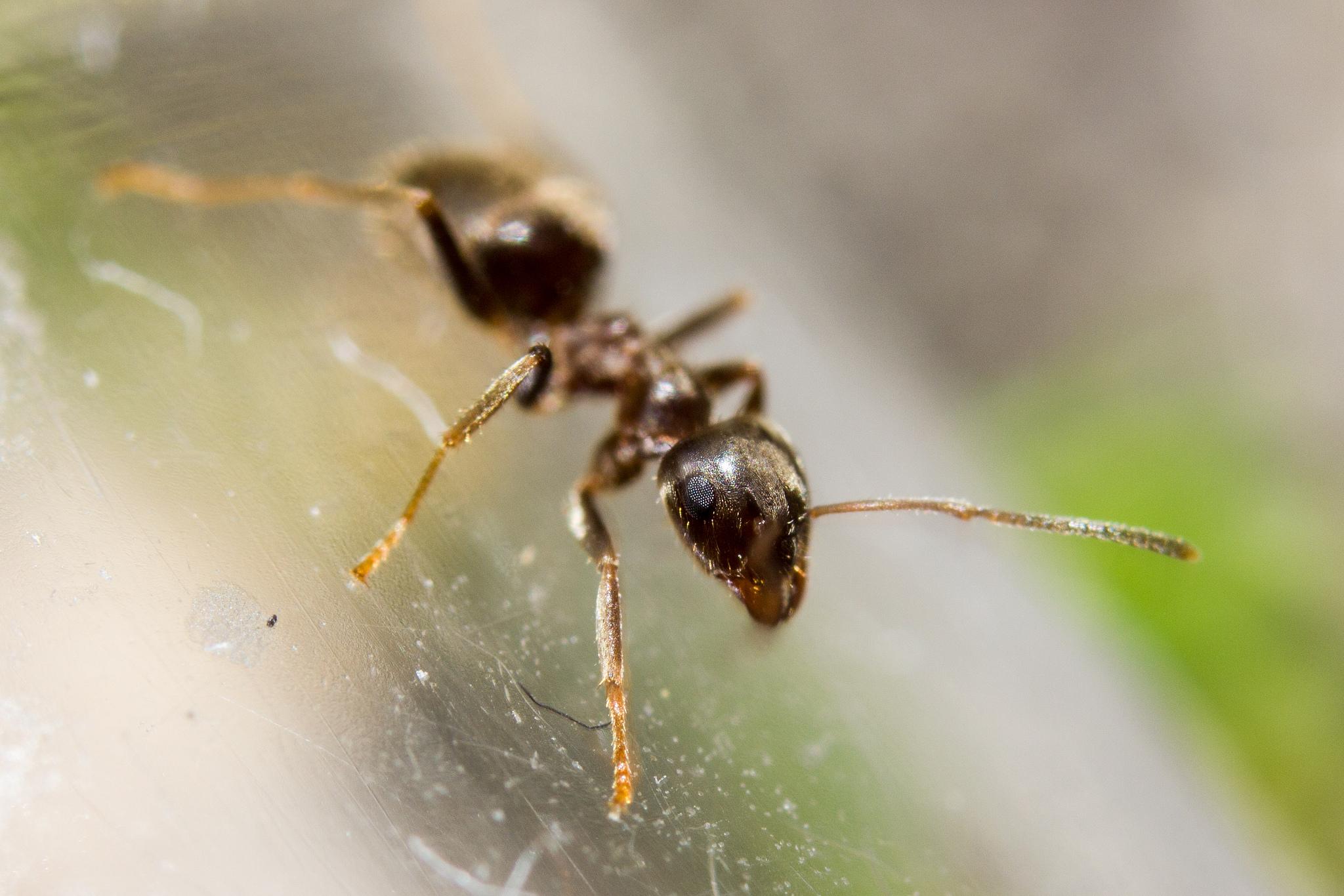 fourmi noire des jardins nature is re. Black Bedroom Furniture Sets. Home Design Ideas