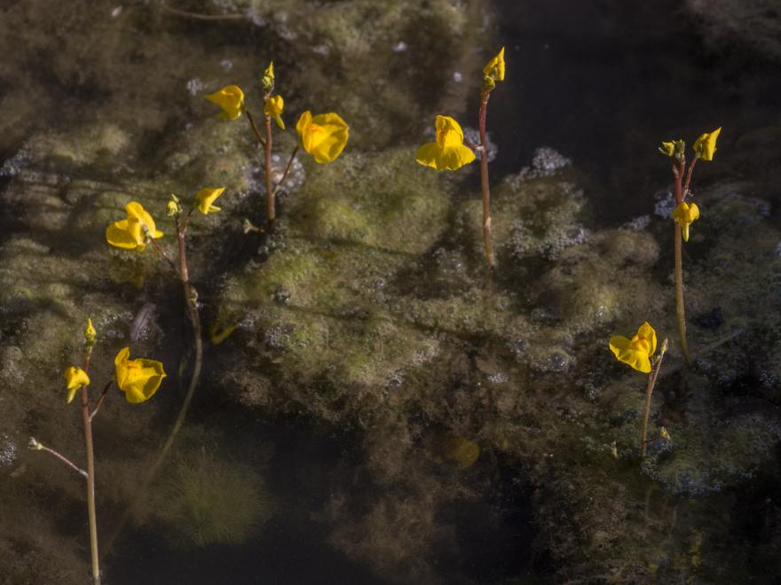 Utriculaire négligée – Utricularia australis - Julia Peyrottes, nature isere