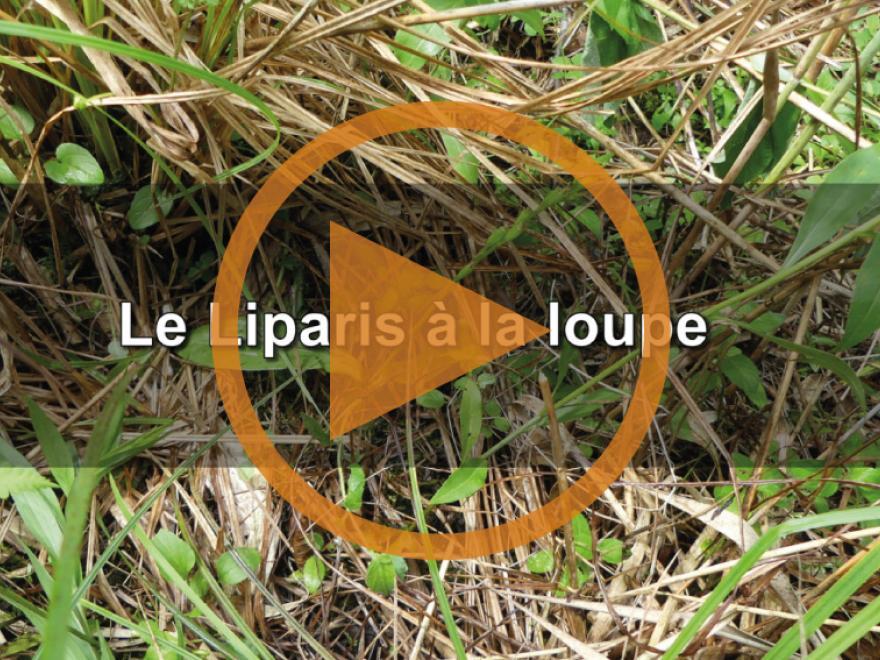 Capture écran de la vidéo sur le Liparis de Loisel, CEN Isère, nature isère