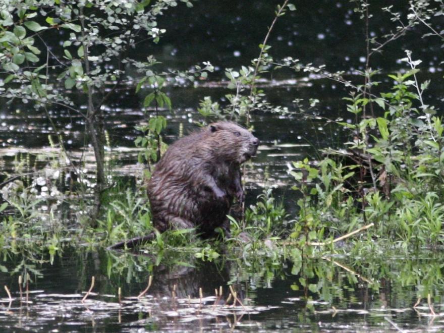Un castor sur l'ENS du Bois de la Bâtie (département de l'Isère), nature isère