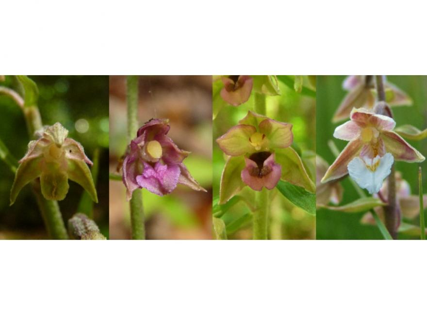 Epipactis peuil, nature isere