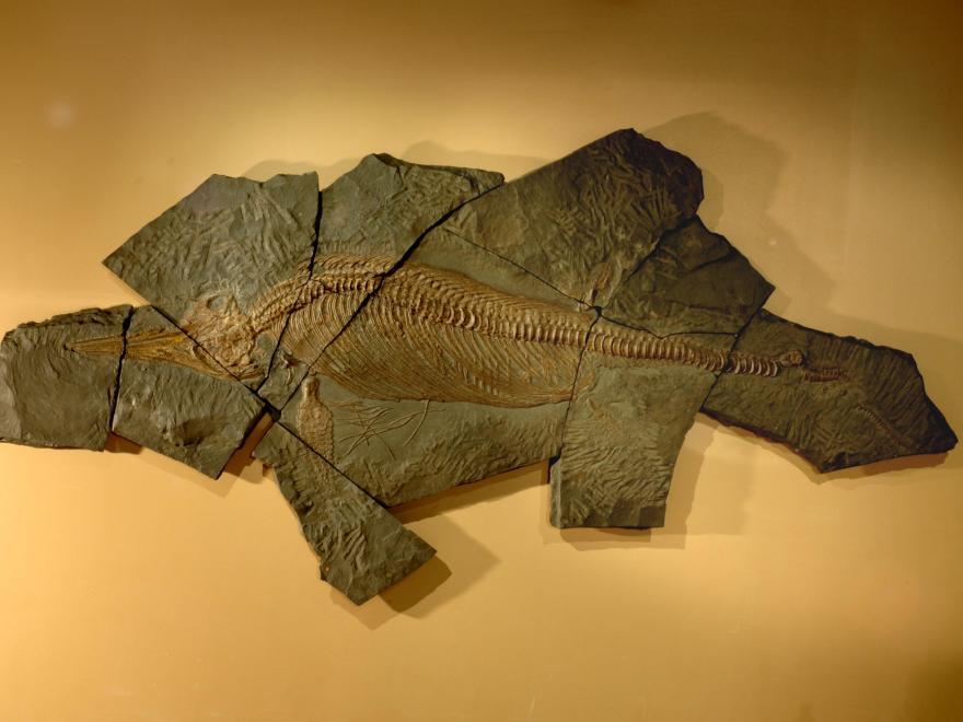 Ichtyosaure, dans la salle Parole de Terre, Muséum de la ville de Grenoble, nature isère