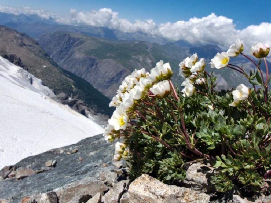 Ranunculus glacialis 2017-06-25-_Ecrins-Aigle Sandrine Da Col