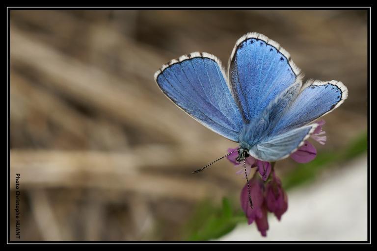 Argus bleu celeste (Polyommatus Belargus ) sur un Polygale (Polygala sp.), photo Christophe Huant sur nature isère
