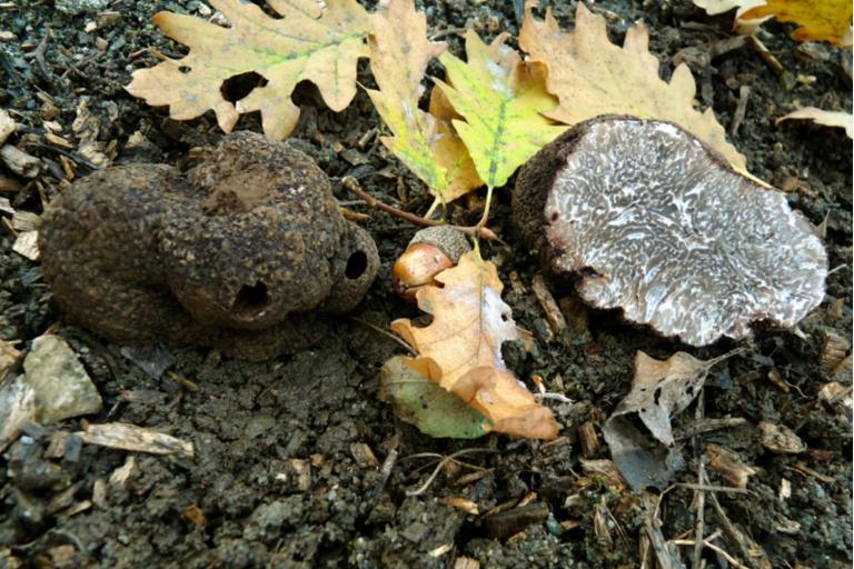Photo de Truffe noire du Périgord, PastedGraphic-1-1, SMD38