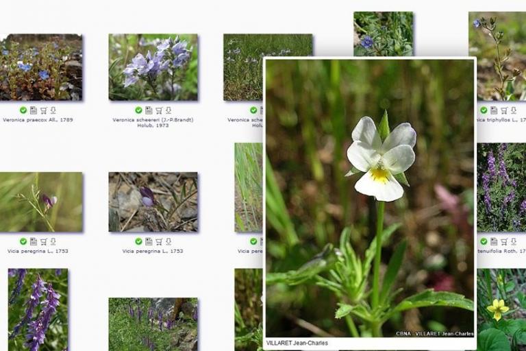 Viola arvensis, Pensée des champs, Sophie Bissuel-CBNA