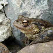 Photo de crapaud bufo bufo, CC0, Nature Isère