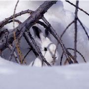 Lièvre variable- crédit photo Chevalier Robert-Parc national des Ecrins