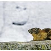 Marmotte, photo de Pasquale Paolo Cardo, CC-BY-2.0