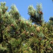 Photo de branches de pins à crochets.