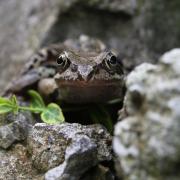 Photo d'une grenouille brune.