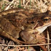Photo d'une grenouille rousse.