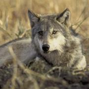 Photo d'un loup gris