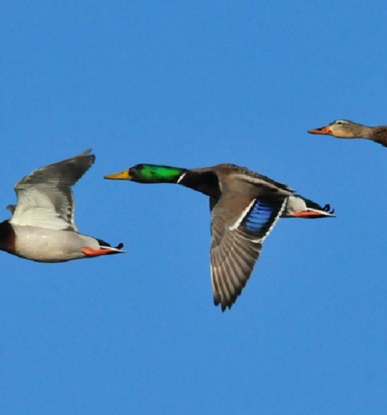 Photo de colvert mâles et femelle en vol - Nature Isère