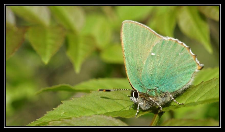Argus vert, Christophe Huant, Nature isère