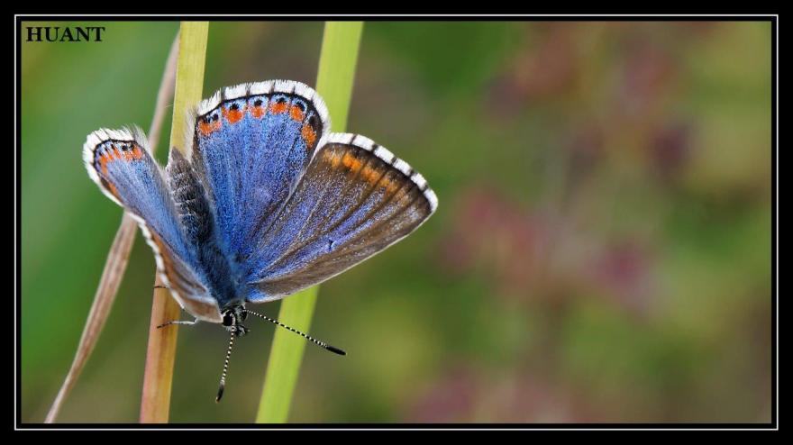 Belargus femelle, Christophe Huant, Nature isère