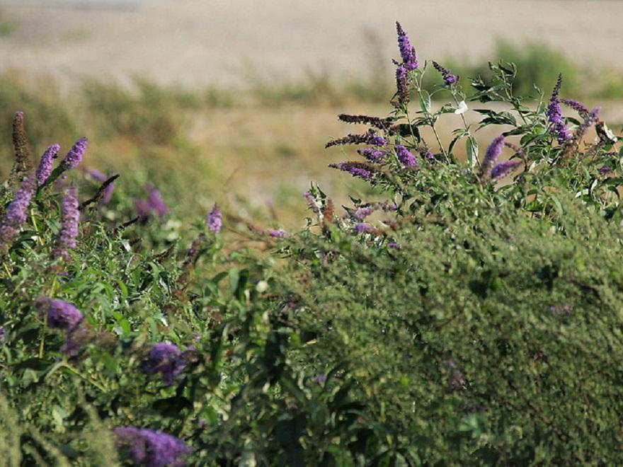 Buddleia, photo de Hermann Falkner sokol, CC BY-NC
