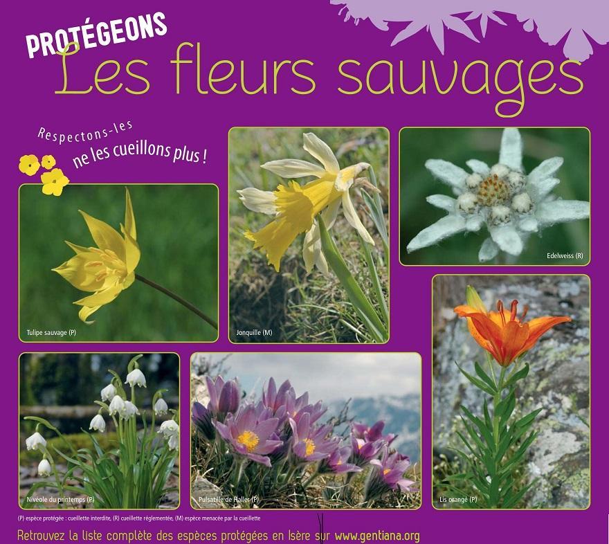 GENTIANA, poster Respect des fleurs sauvages