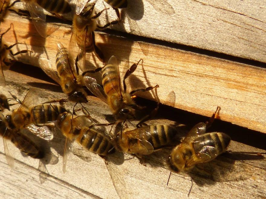 Abeilles à l'extérieur d'une ruche - CC0 domaine public - Nature Isère