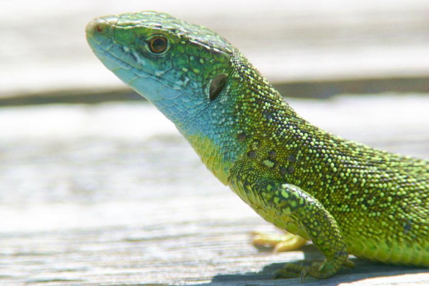 Lézard vert occidental mâle © Jérôme Carlin