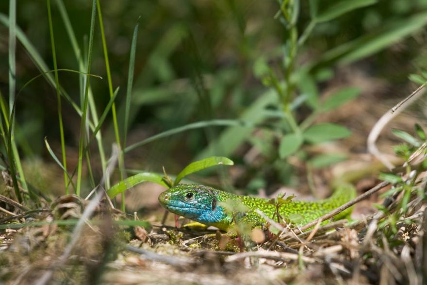 Lézard vert occidental mâle © B. Bodin - Droits limités