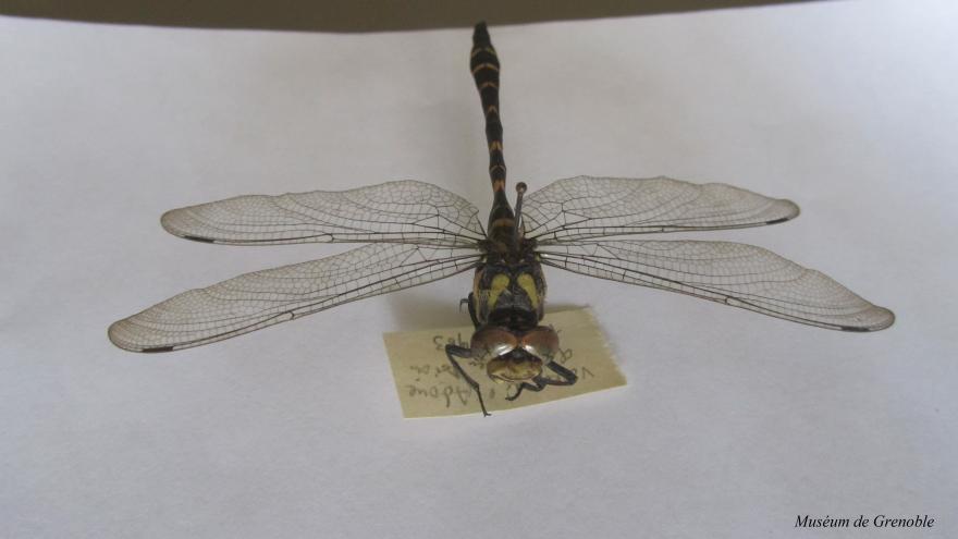 Cordulegastre bidenté naturalisé - collection du Muséum de grenoble - Nature Isère