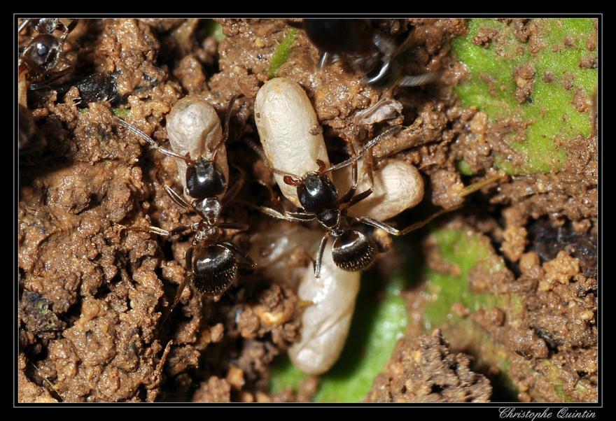 Fourmis noires et œufs - Photographie de Christophe-Quintin - CC-BY-NC - Nature Isère