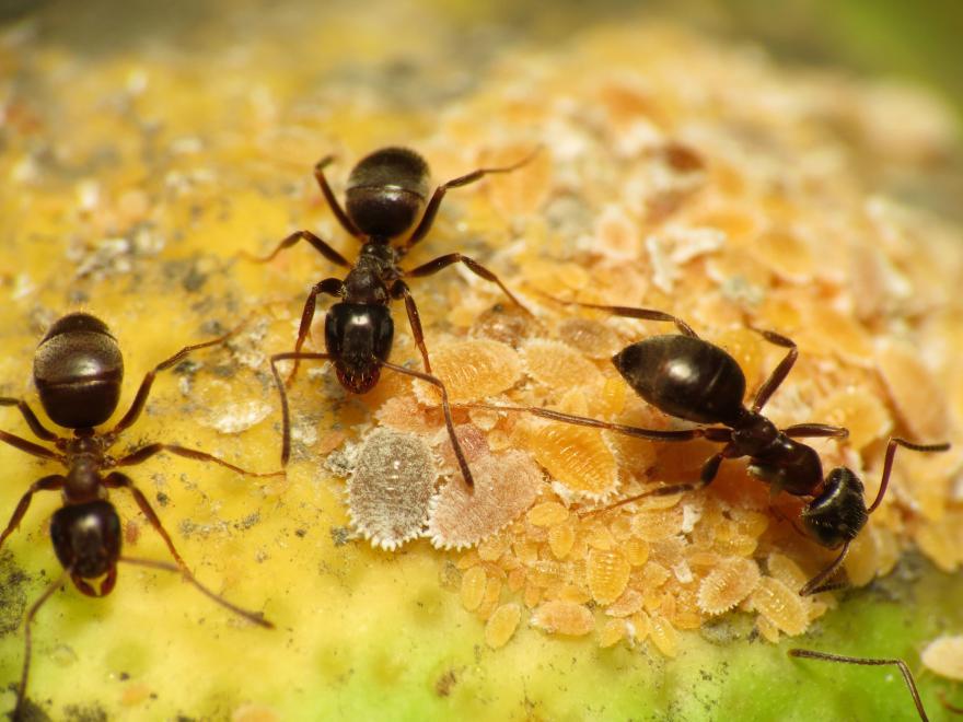 Fourmis noires élevant des cochenilles sur un citronnier - Photographie de Katja Schulz - CC-BY - Nature Isère