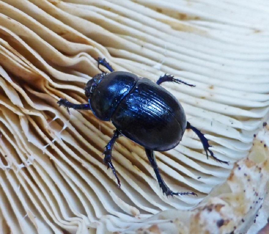 Géotrupe des bois, photo de Rosalia sur nature isère