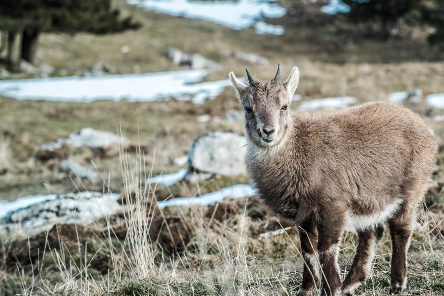 Photo d'un jeune chamois