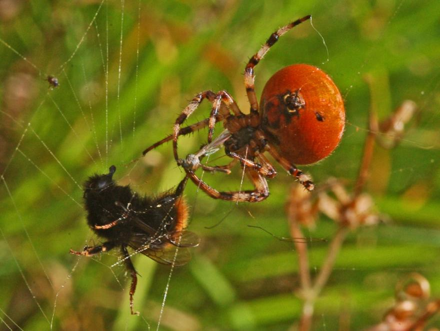 Photo d'Ettore Balocchi, Araneidae - Araneus quadratus, CC BY 2.0, nature isère