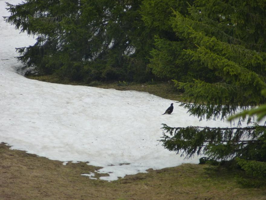 Tétras lyre dans son milieu © Département de l'Isère