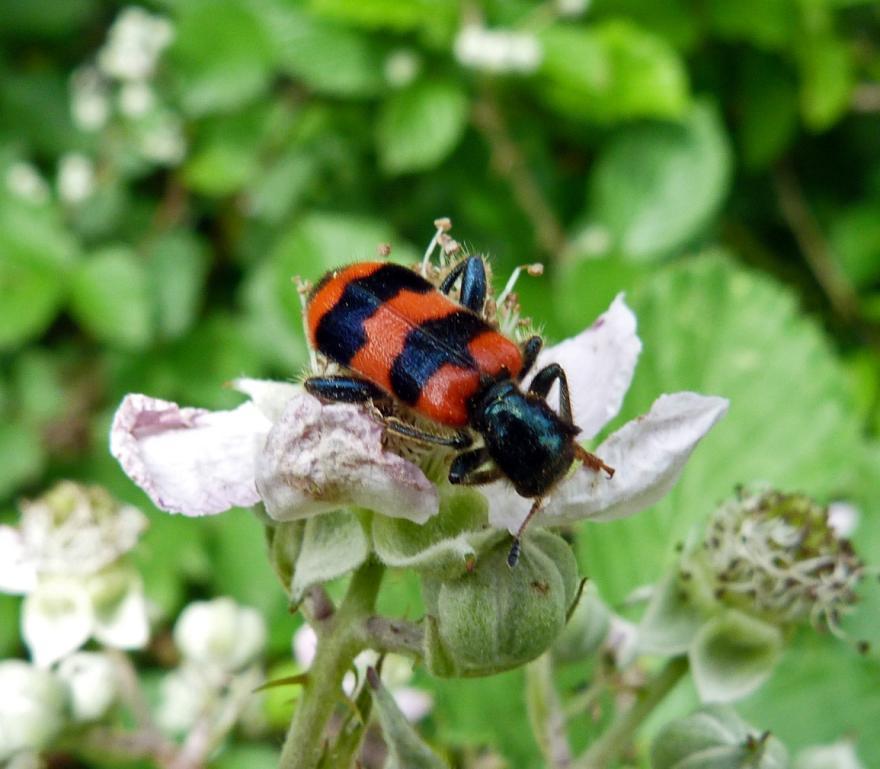 Trichodes apiarius - Rosalia, nature isère