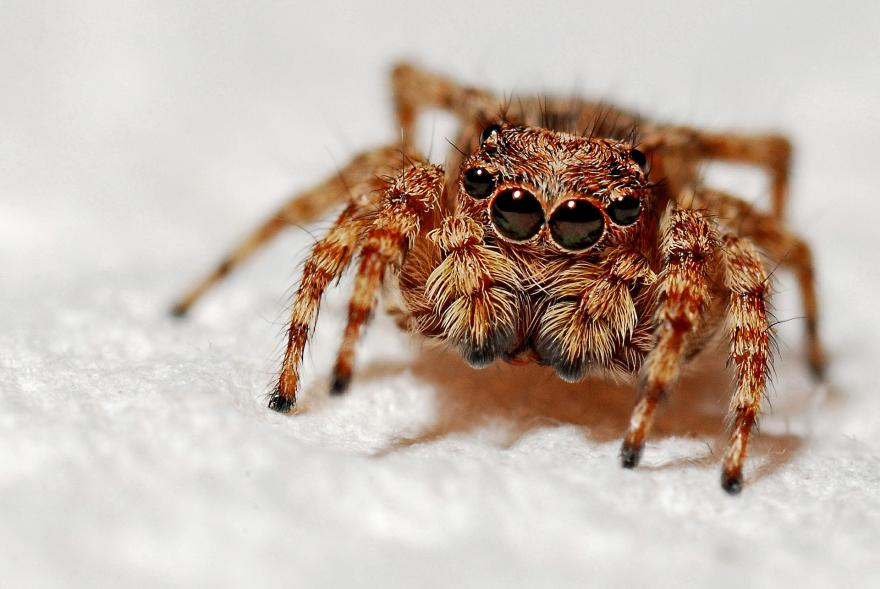 Araignée sauteuse, 631377, CC0 Public Domain, nature isère