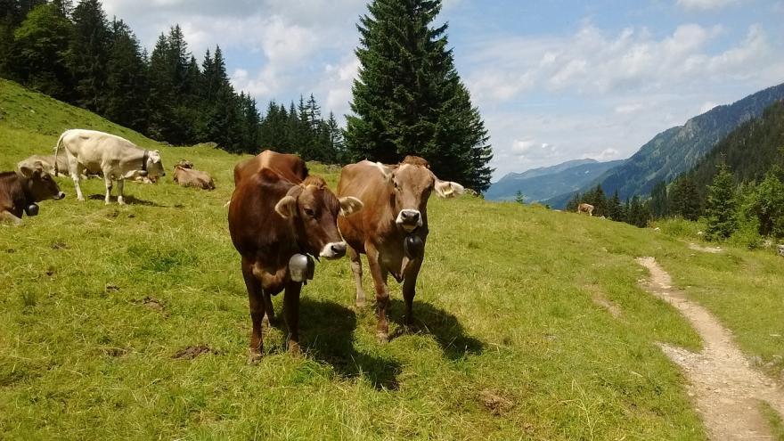 Troupeau de vaches - CC0 Public Domain - Nature Isère