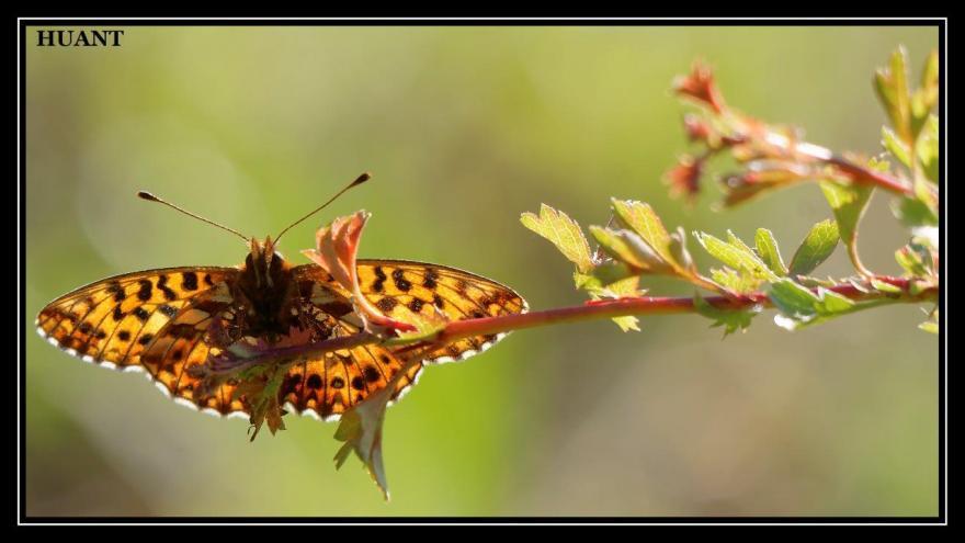 Petite violette, Papillon, Christophe Huant, Nature isère