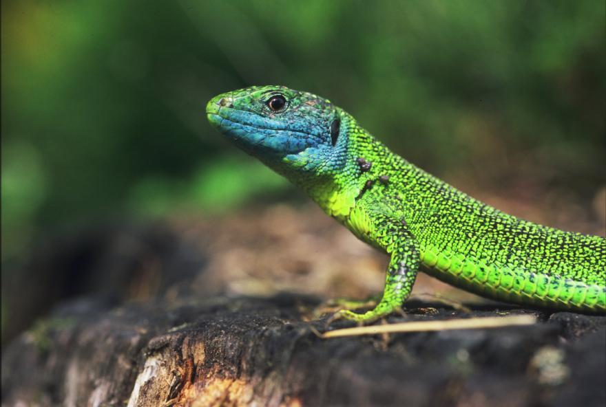 Lézard vert occidental mâle © Gilles Leblais - Droits limités