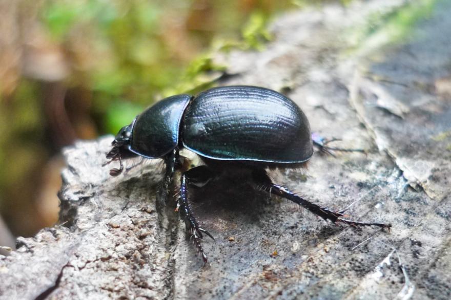Photo de Géotrupe des bois, de l'association Rosalia sur nature isère