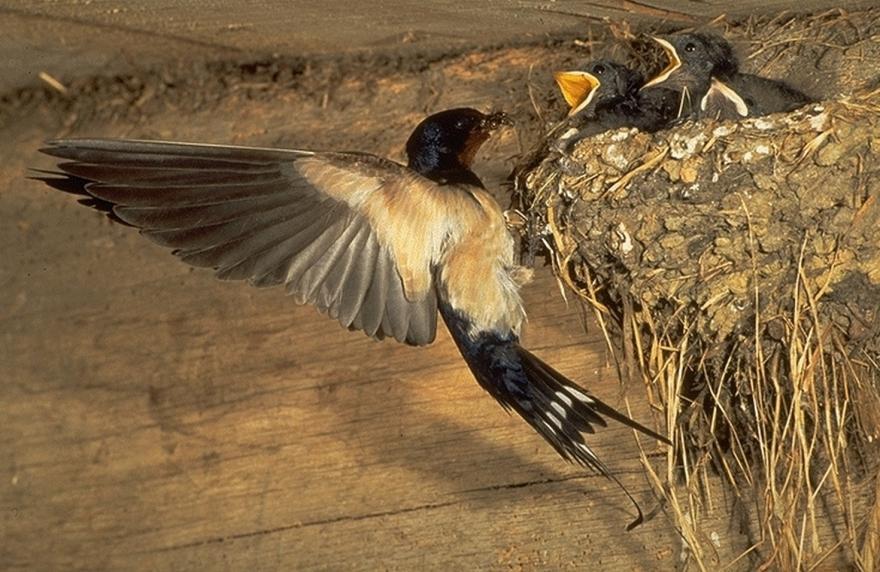 Hirondelles rustiques au nid © Alain Gagne