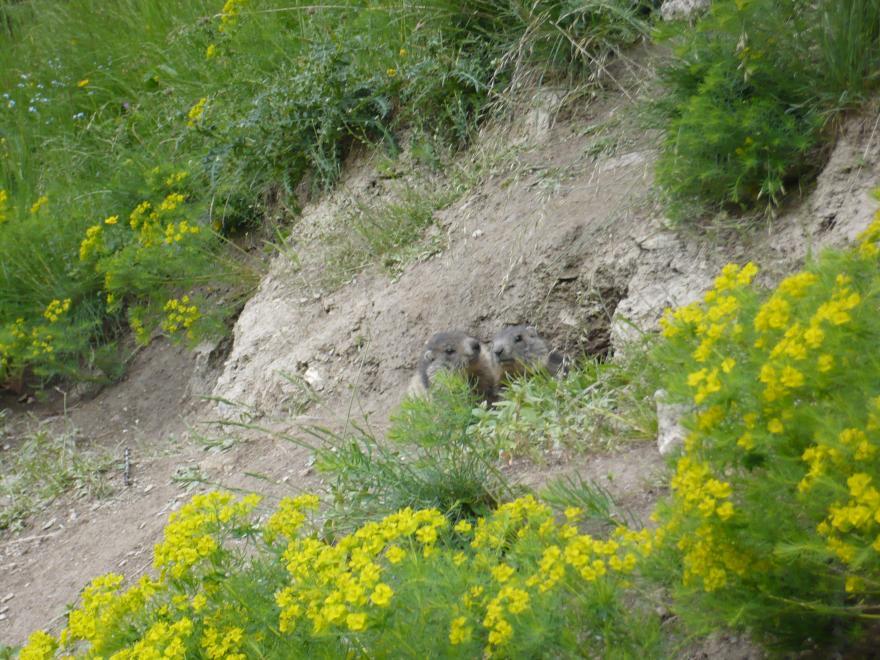 Photo de marmottes à la sortie de leur terrier - Nature Isère
