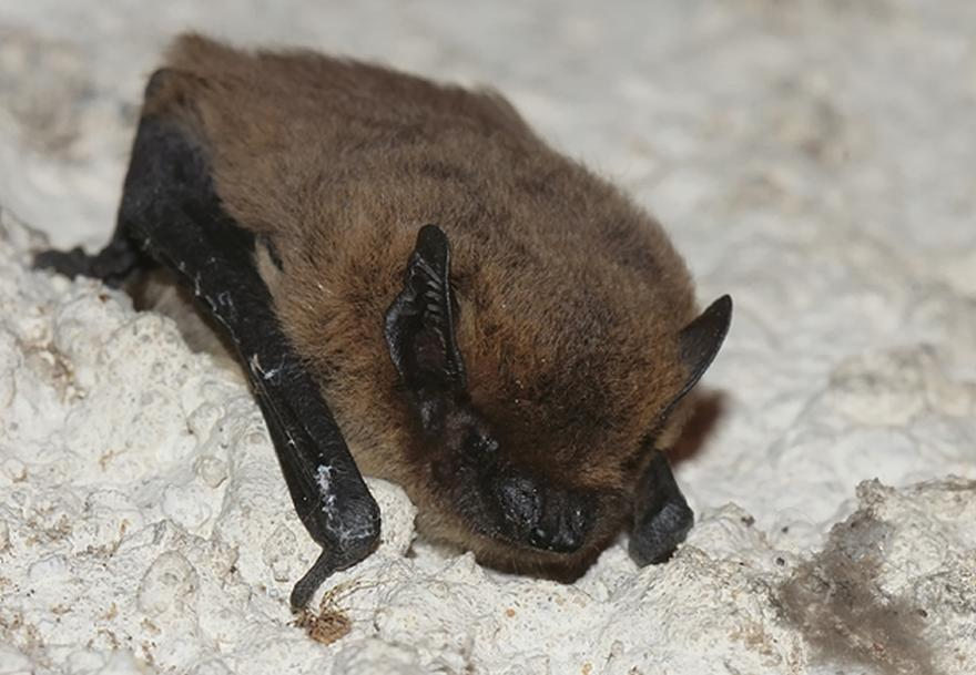 Pipistrelle commune © Guy Bourderionnet