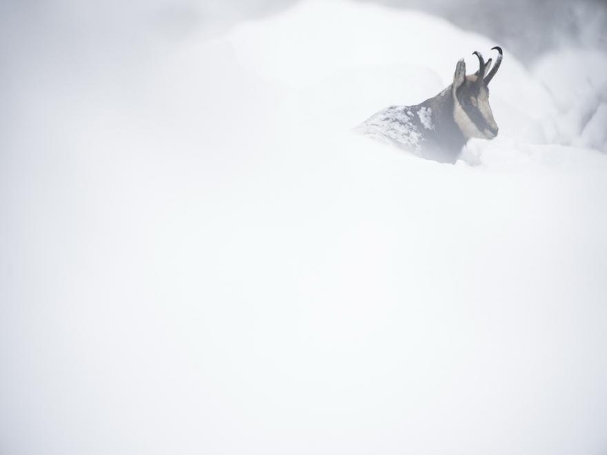 Chamois dans la neige, sébastien De danieli