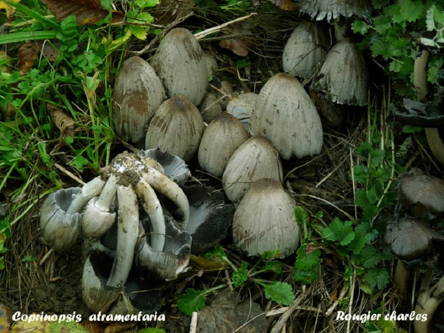 Le Coprin noire d'encre : Coprinopsis  atramentaria