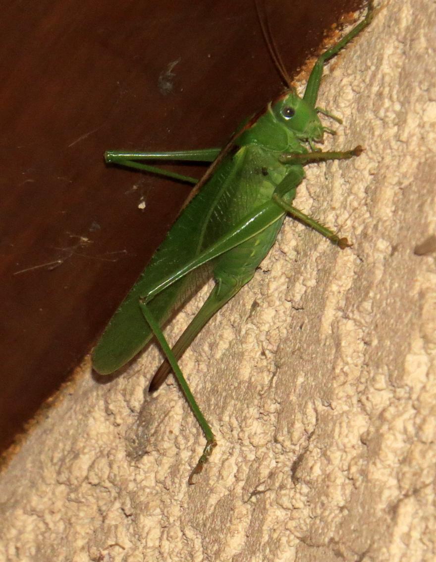 Sauterelle verte, nature isère
