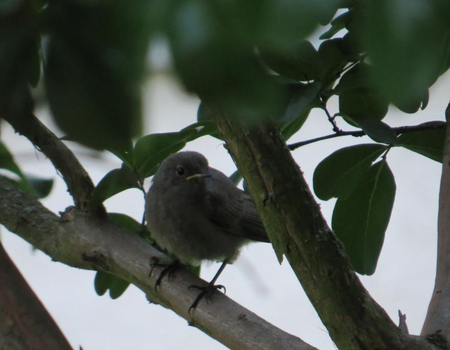 Oisillon sorti du nid depuis peu, nature isère