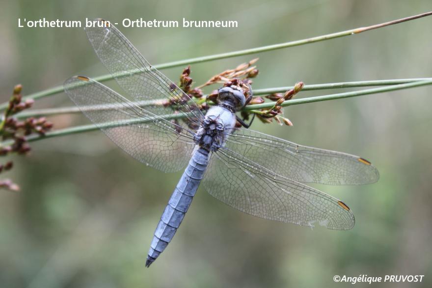Orthétrum brun (mâle)- Orthétrum brunneum, observé lors de la formation d'initiation à la détermination des libellelules - Mare de Bouvetaire - St Guillaume - 14/07/18