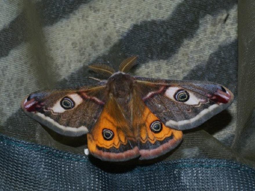 Animation découverte des papillons, Paon de nuit, Saturnia pavonia, photo de Ilia Ustyantsev, CC-BY-SA