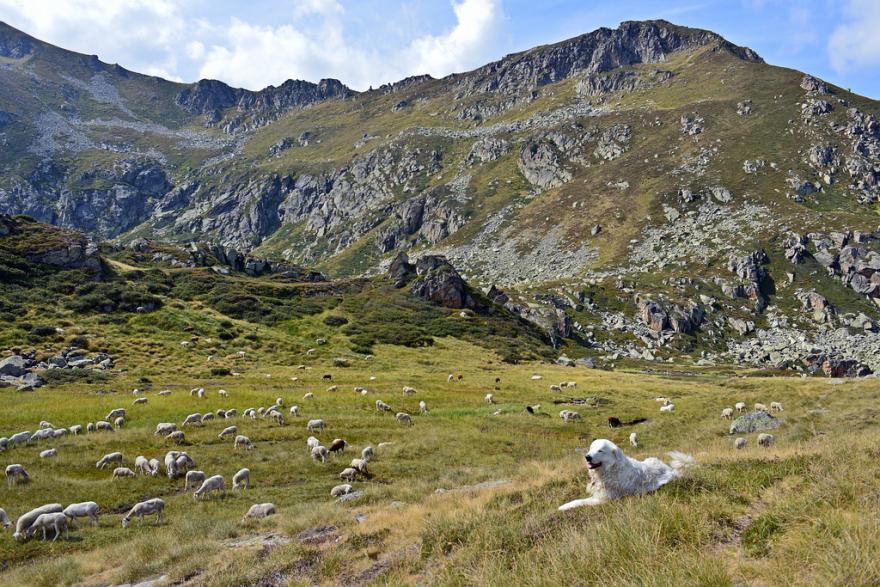Patou et troupeau aux Étangs de Neych, Stéphan Peccini, CC BY-SA 2.0
