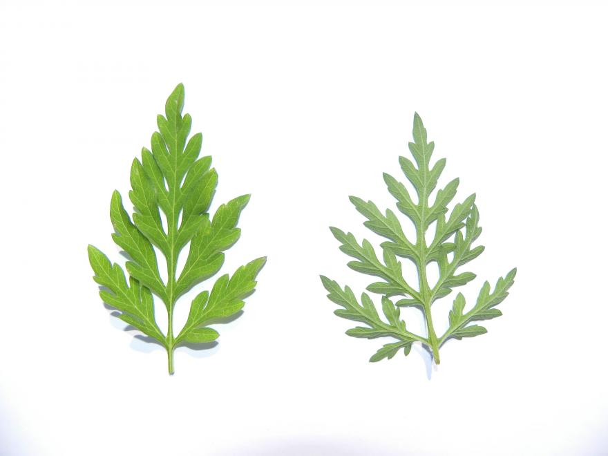 Figure 3 – Les deux faces d'une feuille d'Ambroisie à feuilles d'armoise. Source : Observatoire des ambroisies