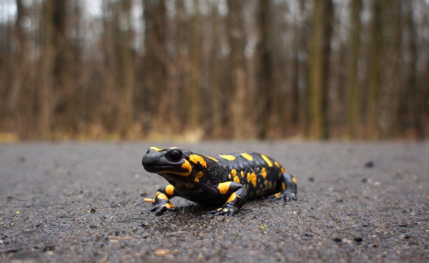 Salamandre, CC0 Domaine public, nature isère